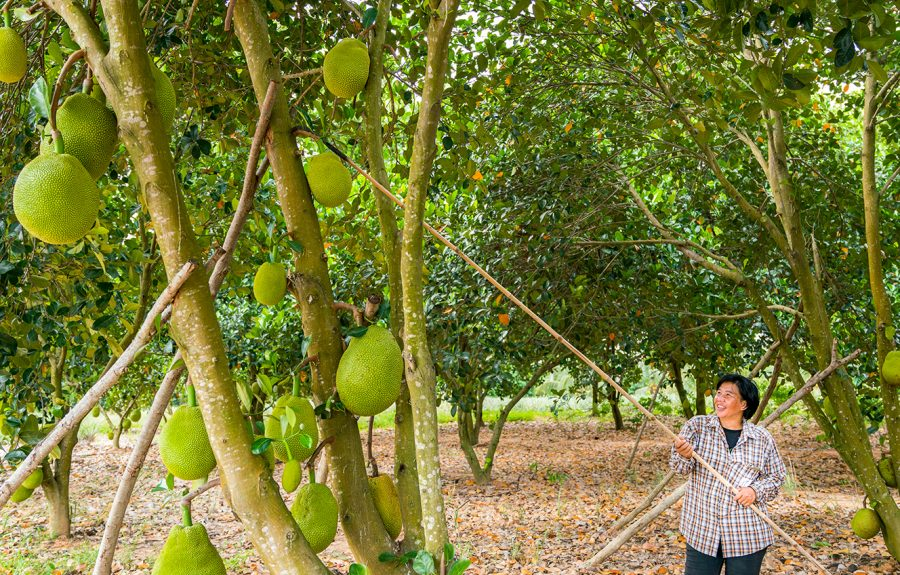 Nipalin met Jackfruitboom