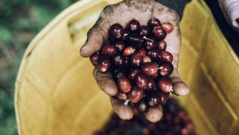 Dieprode koffiebessen worden geplukt voor Community Coffee