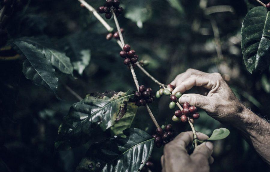 Fairtrade Original, Koffie plukken