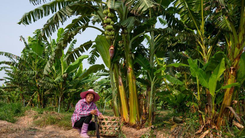Bananenbloesem boerinnen - Fairtrade Original
